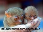 Tarsius oder Koboldmaki - die kleinste Affenart der Welt